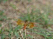 Repos de libellule de plan rapproché sur la branche d'herbe dans la nature photos stock