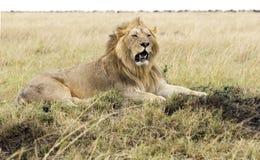 Repos de lion Photographie stock libre de droits