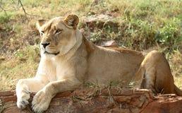 Repos de lion Photo libre de droits