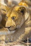 Repos de lion ainsi que la fierté dans Serengeti image libre de droits