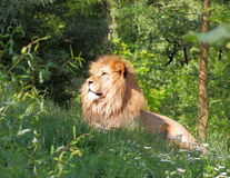 Repos de lion de Barbarie (Panthera Lion Lion) Photos stock