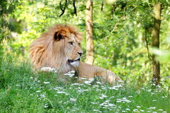 Repos de lion de Barbarie (Panthera Lion Lion) Images libres de droits