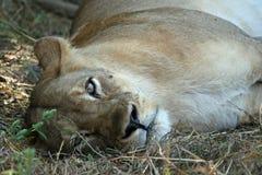 Repos de lionne Photo libre de droits