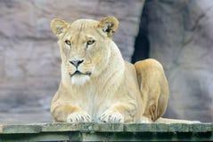 Repos de lionne Photos stock