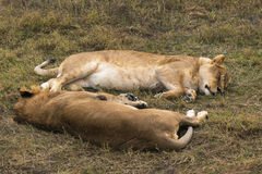 Repos de lionne photographie stock