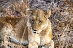 Repos de lionne un jour nuageux en Kruger photographie stock