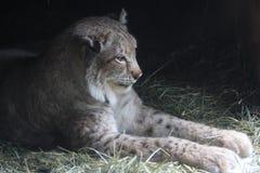 repos de lynx Photographie stock libre de droits