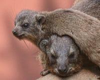 Repos de marmotte de bébé sur la mère Photo libre de droits