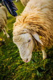 Repos de moutons images stock