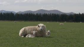 Repos de moutons de mère avec ses deux jeunes agneaux clips vidéos