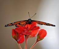 Repos de papillon Photographie stock