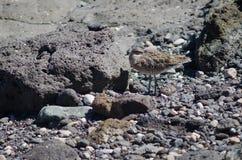 Repos de phaeopus de Numenius de courlis corlieu photographie stock