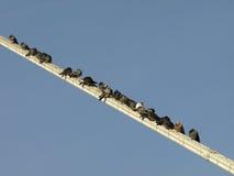 Repos de pigeons Photographie stock libre de droits