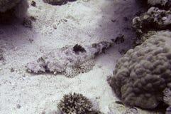Repos de poissons de crocodile Images stock