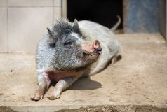Repos de porc de ménage photographie stock libre de droits