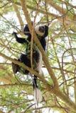 Repos de singe de Colobus image stock