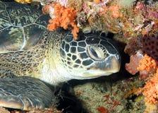 Repos de tortue verte Image libre de droits
