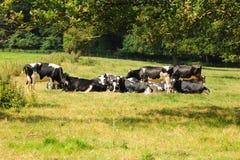 Repos de troupeau de vaches laitières Image stock
