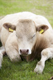 Repos de vache Image stock
