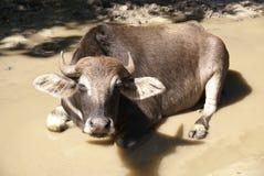 Repos de vache dans le magma boueux Photographie stock