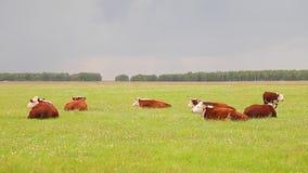 Repos de vaches sur le pré banque de vidéos