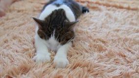 Repos et concept de sommeil Peu plan rapproché pelucheux de patte de chatons Un chat gris rayé masse avec les pattes d'une couver banque de vidéos