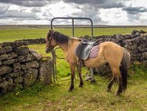 Repos islandais de cheval Photo stock