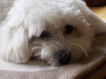 Repos maltais de Bichon Photo stock