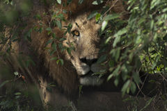 Repos masculin de lion Photographie stock