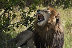 Repos masculin de lion Photo stock