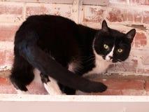 Repos noirs et blancs de chat sur l'étagère Images libres de droits