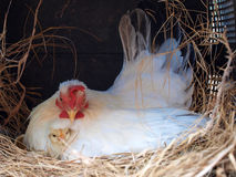 Repos nouveau-né de poulet avec la maman Image stock