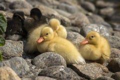 Repos pelucheux nouveau-né de canards sur des pierres images stock