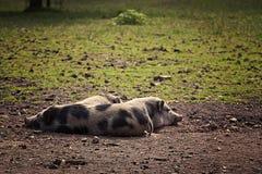 Repos pot-gonflé de trois porcs Image stock