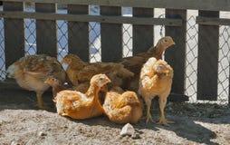Repos rouge de poulets de gamme gratuite photographie stock