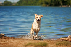 Repos rouge et blanc de race de chien Images libres de droits