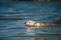 Repos rouge et blanc de race de chien Photographie stock