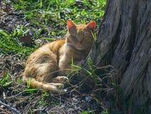 Repos rouges de chat près d'un arbre Image stock