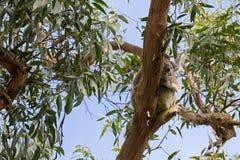 Repos sauvage mignon de sommeil d'ours de koala sur le soutien-gorge d'arbre de gomme d'eucalyptus Images stock