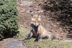 Repos se reposant de petit animal de renard rouge dans le soleil de matin images stock