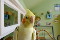 Repos vu par Cockatiel masculin en dehors de sa cage, vue dans un conservatoire, image stock