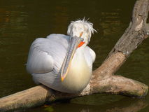 Repose pelican Royalty Free Stock Image