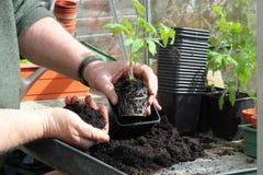 Repotting заводы томата. Стоковые Изображения RF