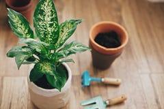Repotting Betriebskonzept Dieffenbachiaanlage eingemacht mit neuem Boden in neuen modernen Topf und im Garten arbeitende stilvoll lizenzfreies stockbild