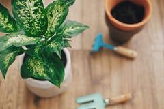 Repotting Betriebskonzept Dieffenbachiaanlage eingemacht mit neuem Boden in neuen modernen Topf und im Garten arbeitende stilvoll stockfotos