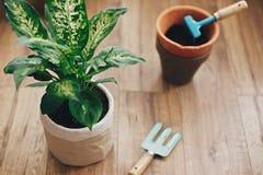 Repotting Betriebskonzept Dieffenbachiaanlage eingemacht mit neuem Boden in neuen modernen Topf und im Garten arbeitende stilvoll stockbilder