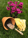 Repotting daisy plant into terra cotta pot. Ready to repot magenta daisy plant into new terra cotta pot Royalty Free Stock Images