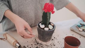 Repotting and taking care of cactus series. Close up shot of young lady hands with artisan ring in form of leaves on finger decorate grafted green cactus with stock footage