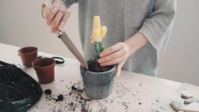 Repotting and taking care of cactus series stock footage