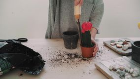Repotting and taking care of cactus series. Young girl in a grey shirt repots cactus with small red flower on top to rustic clay pot from temporary plastic pot stock video footage